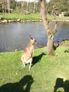 Kangaroo at Fota Wildlife Park, Cork
